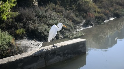 Egret hunting fish at shoreline of pond