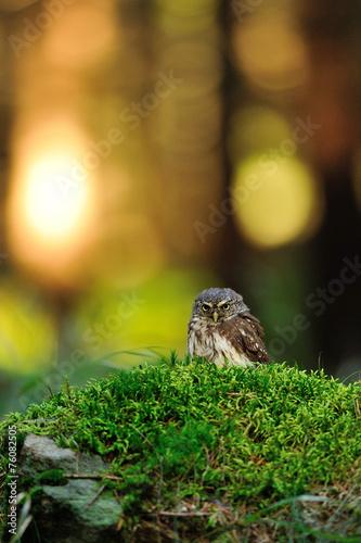 Staande foto Uil Eurasian pygmy owl