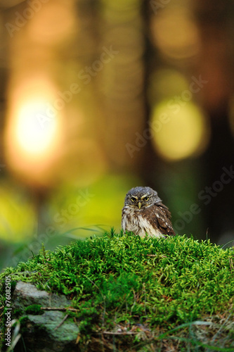 Fotobehang Uil Eurasian pygmy owl