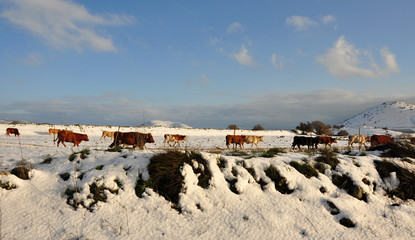 Winter in Israel, Cow , Snow