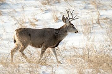 Mule Deer Buck in the Snow