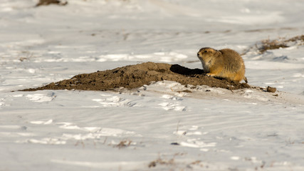 Prairie Dog in the Snow