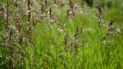 Grain - grasses blowing in wind in meadow, HD video