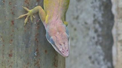 Cuban chameleon lizard or Cuban Knight Anole