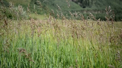 Grains, Grasses blowing in wind, HD video