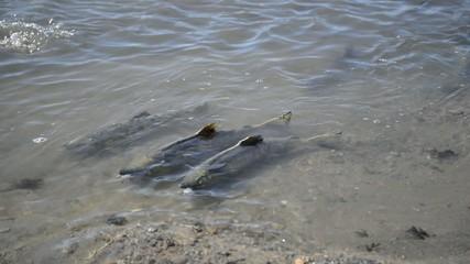 Migrating salmon in summer in Alaska