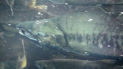 Spawing salmon in Alaska are a main food source for bears