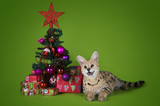 serval cat next to a Christmas tree and gifts on a green backgro