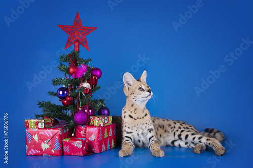 Tuinposter Luipaard serval cat next to a Christmas tree and gifts on blue background