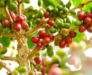 Close up Coffee berry in Laos crop
