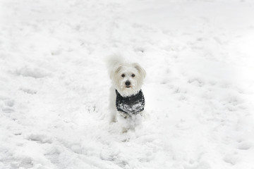 Little Maltese Puppy In Snow