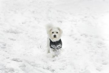 Little Maltese Puppy In Snow