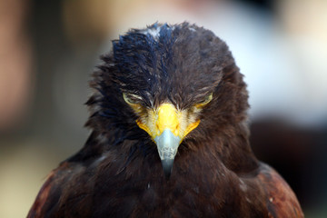 Face to face with a black eagle