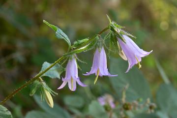 Campanula selvatica (Campanula trachelium)