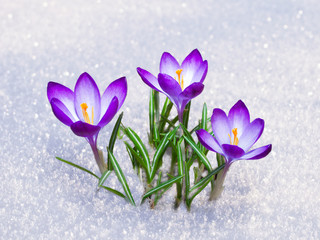 first crocus flowers