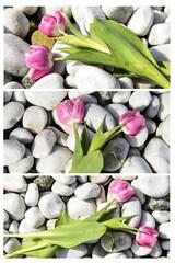 Triptychon rosa Tulpen mit Wassertropfen auf Kieselsteinen