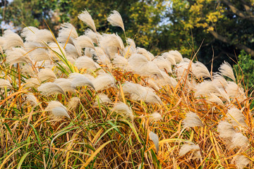 White reed flowers in autumn