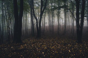 forest with yellow leaves on the ground and fog