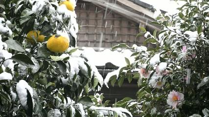 雪の降る夏ミカンの実とサザンカの花