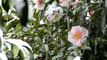 降りしきる雪とサザンカの花