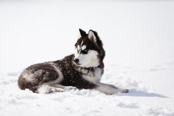 Portrait of puppy husky