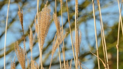 Grass plants blowing in wind