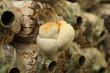 Leinwanddruck Bild - Monkey head mushroom (Yamabushitake mushroom) growing in a farm
