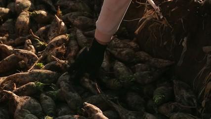 sorting sugar beet on field