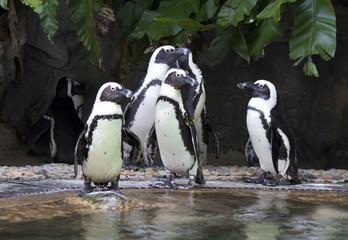 Перуанские пингвины