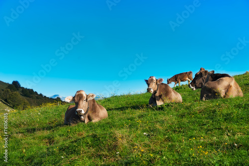 Foto op Canvas Koe Brown cows on green grass pasture