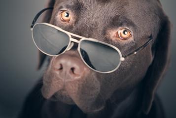 Labrador with Sunglasses
