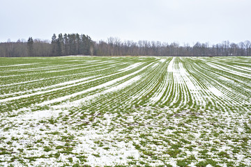 Winter crop field with snow