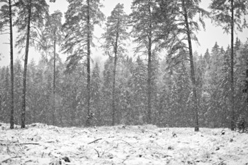 Pine trees in snowstorm