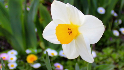daffodil flower close-up