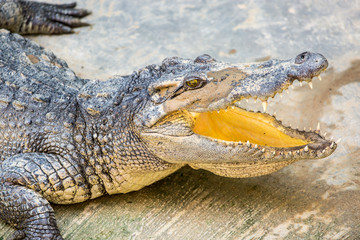 Dangerous crocodile open mouth in farm in Phuket, Thailand