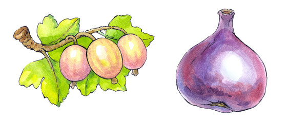 Watercolor painting of a set of fruit: figs and gooseberries