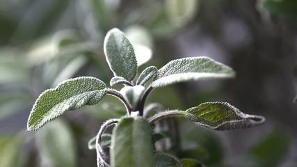 Salbei, Pflanze und Teezubereitung