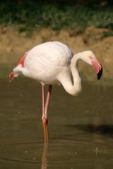 uccello fenicottero rosa