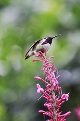 Hummingbird standing on lantana flowers
