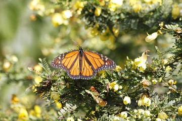 Monarch butterfly feeding - small yellow flowers