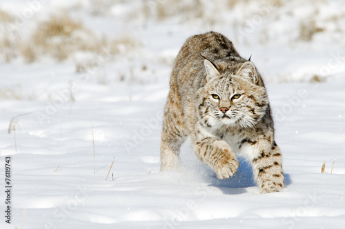 Foto op Canvas Lynx Bobcat in Winter