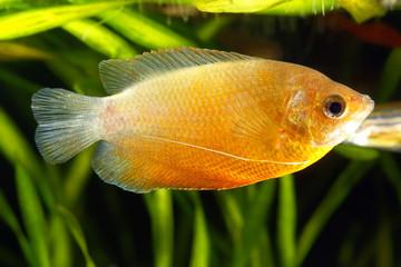 Dwarf Gourami (Colisa lalia) in Aquarium