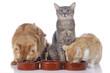 Drei Katzen am Futternapf
