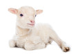 canvas print picture - Lamb sitting