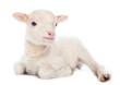 Lamb sitting - 76129763