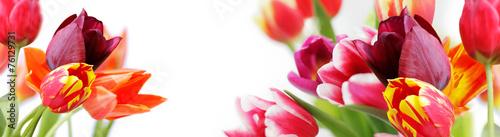 Foto op Aluminium Tulp tulpen vor weißem hintergrund, highres banner