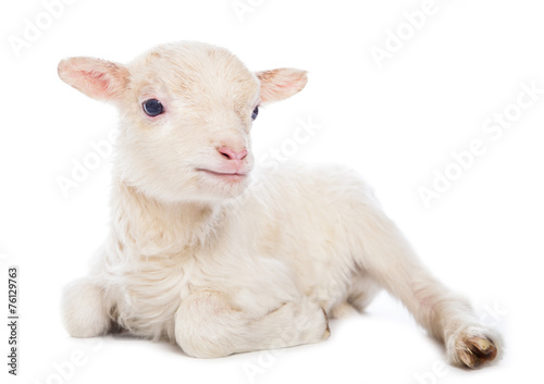 Canvas Schapen Lamb sitting