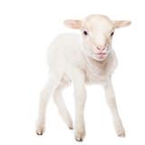 Lamb standing - 76130979