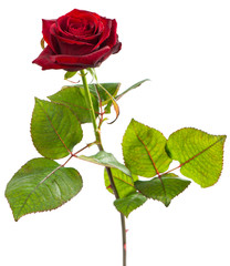 One red rose on a white
