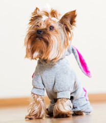 Yorkshire Terrier in overall staying on floor